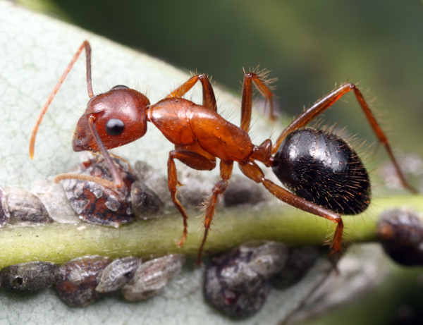 Winged Ants in Florida Florida Carpenter Ant