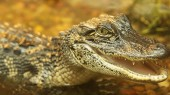 Despite their thick skins, alligators and crocodiles are surprisingly touchy