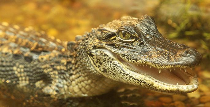 Despite their thick skins, alligators and crocodiles are ...