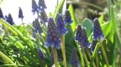 Help plant 5,000 hyacinths Oct. 17