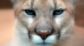 Cougars' diverse diet helped them survive the mass extinction that wiped out the saber-tooth cat, American lion