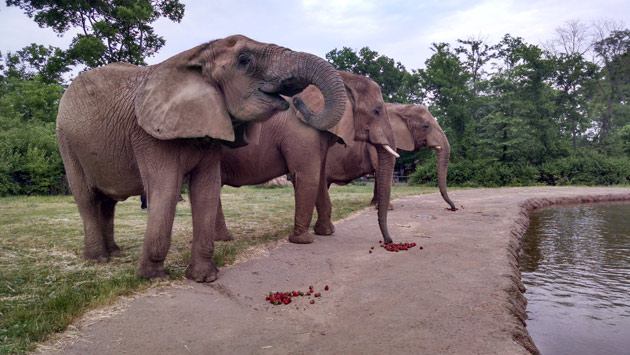 African elephants at the Nashville Zoo enjoy strawberries left over from Commencement.