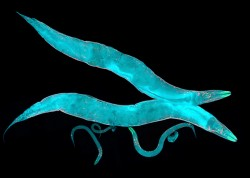 The transparent roundworm Caenorhabditis elegans (C. elegans for short) is a widely used animal model for exploring the basic processes in the development and behavior of multi-cellular organisms, including humans. (iStock)
