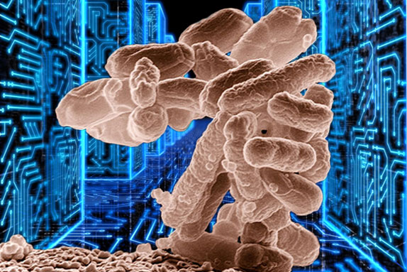 The simple E. coli bacterium shown can compute 1,000 times faster than the most powerful computer chip, its memory density is 100 million times higher and needs 100 millionth the power to operate. (Jenni Ohnstad)