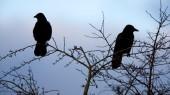 Humane dispersal of roosting birds is underway