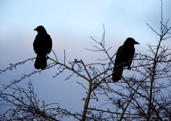 How to Get Rid of Crows advise