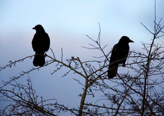 Over the past several weeks, an increasing buildup of crows has been observed in the trees along 21st Avenue South and West End Avenue, near Warren and Moore Colleges.