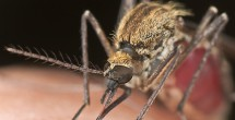 Mosquito facts and fictions