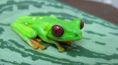 Study finds 'hot' frogs fight off fungal pathogen