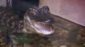 VUCast: Gators Give Researchers Clues