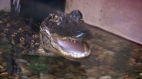 VUCast: Gators Give Researchers Clues