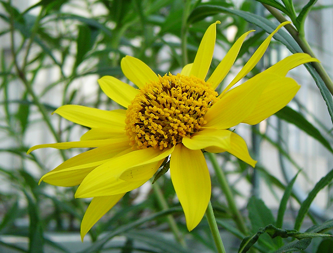 sunflower thesis Research is paramount to the sunflower industry since its inception, the national sunflower association has committed itself to providing funds to researchers to.