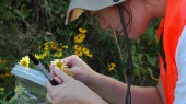 Vanderbilt doctoral thesis helps protect rare domestic sunflower