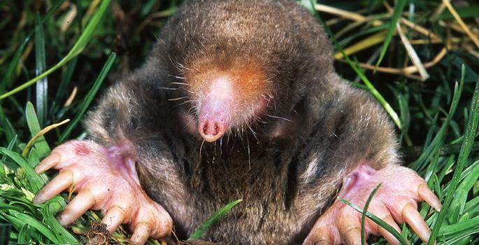 Mole Smell Vanderbilt