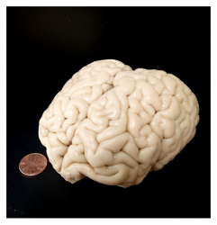 coconut-sized brain next to a penny for scale