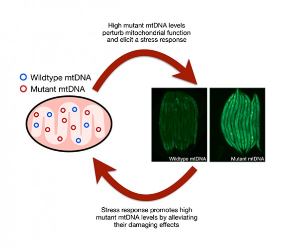 Illustration of how mutant mtDNA use one of the cell's repair mechanisms to proliferate. (Patel Lab, Vanderbilt)