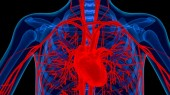 Study finds coronary arteries hold heart-regenerating cells