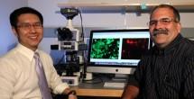 Receptor 'ties' together blood flow, atherosclerosis