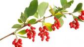 Plant compound quells inflammation