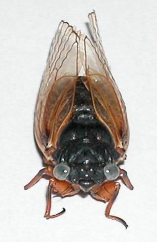 blue-eyed cicada