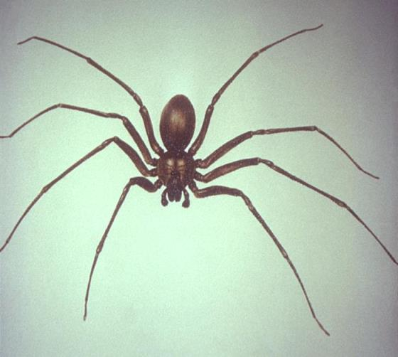 Children at risk for complications from brown recluse spider bites: study