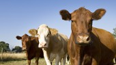 VU team's cattle research may yield lung disease clues