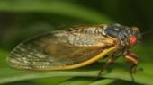 Cicadas 101: All buzz, no bite