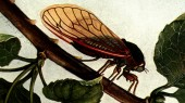 What scientists know about cicadas