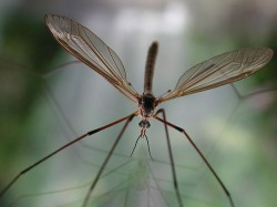 Crane fly closeup