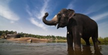 Elephants can transmit TB to humans