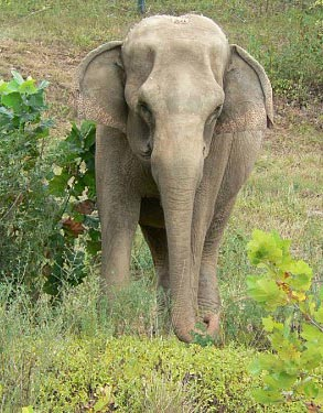 A Vanderbilt study has shown that elephants can transmit tuberculosis to humans. (courtesy elephants.com)