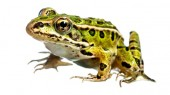 Treatments for frog fungus