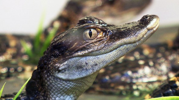 Vanderbilt researchers: Alligators and crocodiles possess acute sense of touch.