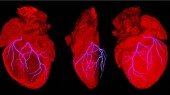 Cell source of heart's blood vessels