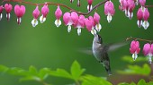 How the hummingbird achieves its aerobatic feats
