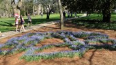 Former visiting artist's grape hyacinth project now in bloom