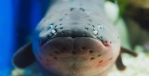 Electric eels make leaping attacks