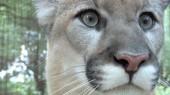VUCast: Cougar Cravings