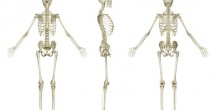 Inner ear keeps bones strong
