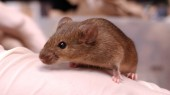 'Darting' mice may hold clues to ADHD, autism and bipolar disorder