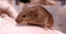 van kaer mouse