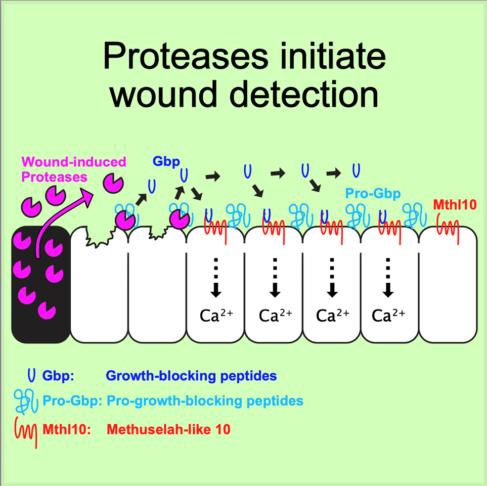 Model of epithelial wound detection. Destroyed cells at the center of wounds release proteases, cleaving extracellular pro-Gbp into its active form, which diffuses to distal cells to activate a calcium response through the receptor Mthl10.
