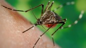 Researcher attacking Zika virus by stirring up mosquitoes' taste buds