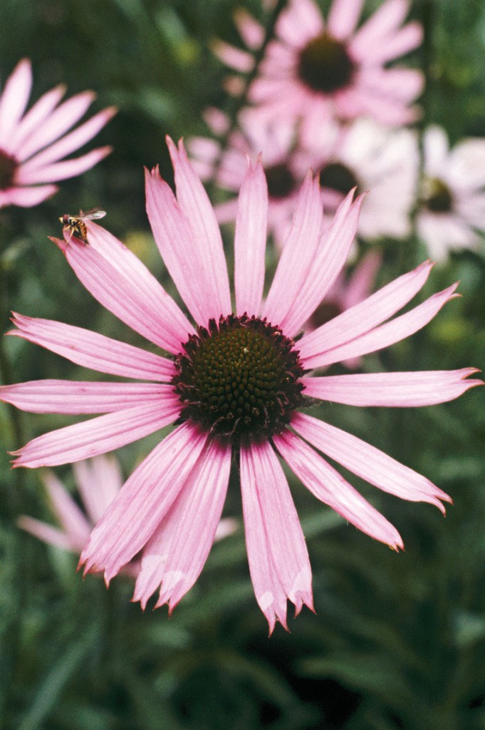 Photo of a Tennessee coneflower