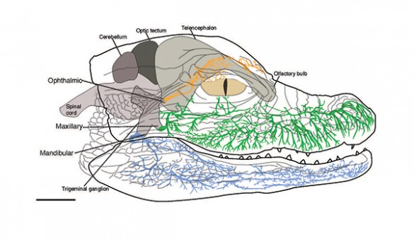 Alligator innervation diagram