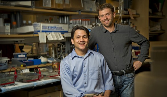 Florent Elefteriou, Ph.D., right, Preston Campbell and colleagues are investigating the role of stress in priming the bone environment for breast cancer cell metastasis. (photo by John Russell)
